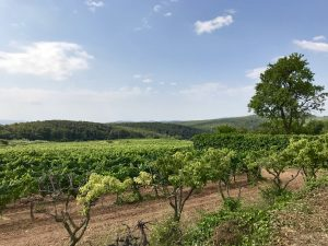 Beautiful Vineyard of Sumoll